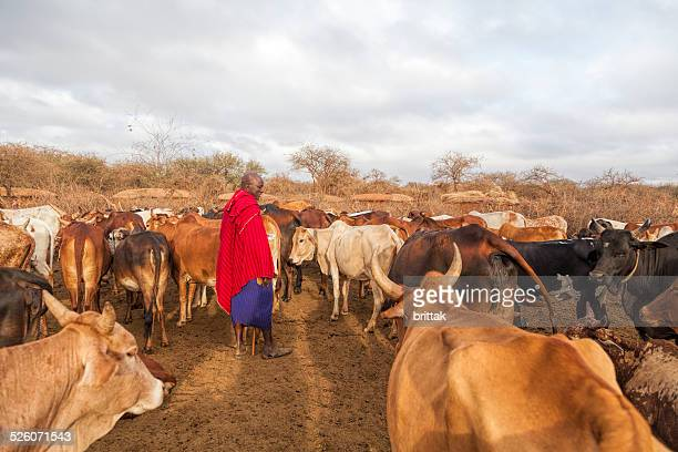 Maasai elder in traditional shuka with his cattle.