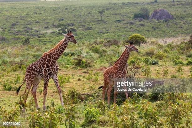 maasai giraffe (giraffa camelopardalis), arusha national park, tanzania - arusha national park stock photos and pictures