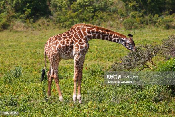 maasai giraffe (giraffa camelopardalis) feeding, arusha national park, tanzania - arusha national park stock photos and pictures
