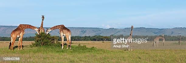 Maasai giraffe herd feeding