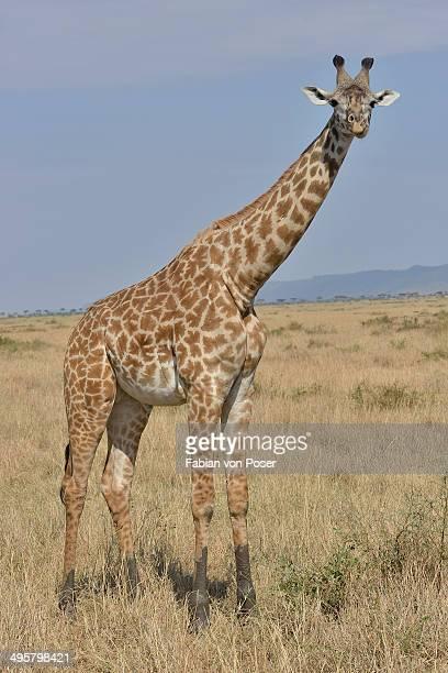 Maasai Giraffe or Kilimanjaro Giraffe -Giraffa camelopardalis tippelskirchi-, Massai Mara, Rift Valley Province, Kenya