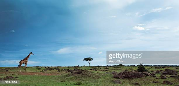 Maasai giraffe standing