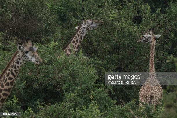 Maasai Giraffes eat leaves in Nairobi National Park Kenya on November 21 2018 Kenya Wildlife Service has taken the intiative of the firstever...