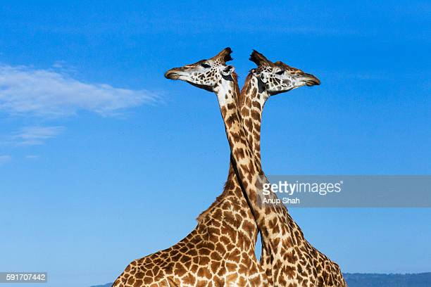 maasai giraffes necking - two animals stock pictures, royalty-free photos & images