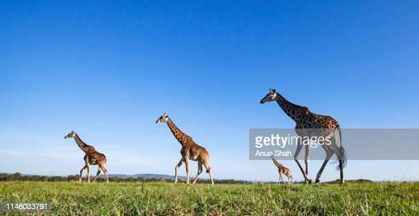 maasai giraffes on the move - 野生動物 ストックフォトと画像