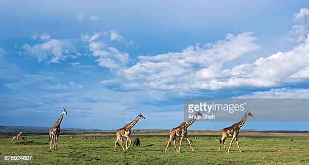 Maasai giraffes on the move