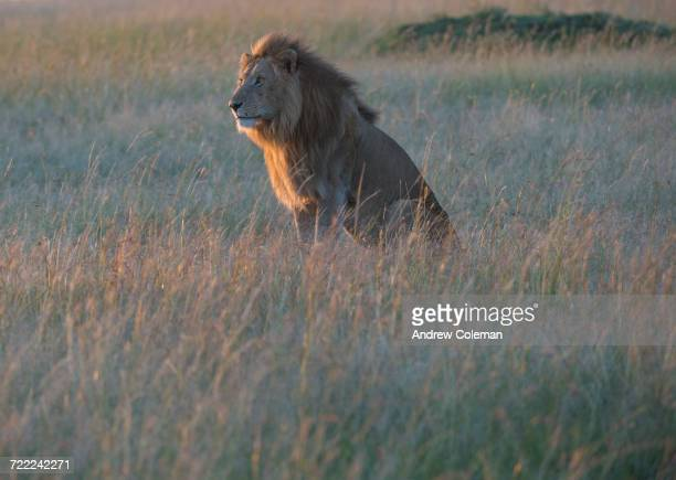 'Sunlight on a male lion, Panthera leo, sitting in the dry grass.'