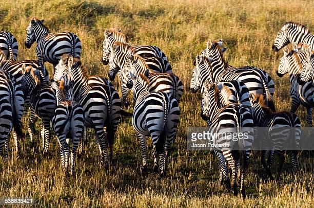 A herd of Grants Zebra stampeding across the short grass savannah plain.