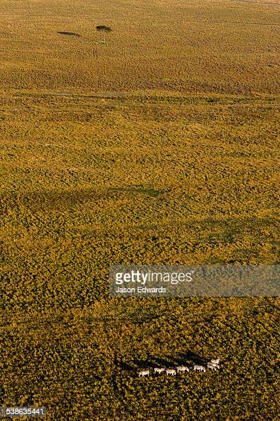 An aerial view of a herd of Grants Zebra migrating and grazing on the vast short grass savannah plain at dawn.