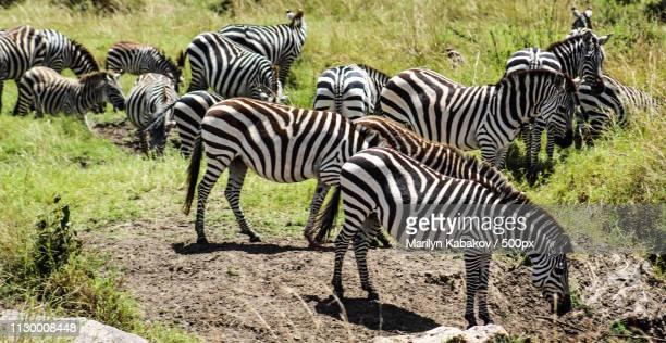 maasai mara:zebras on migration - marilyn kabakov stock photos and pictures