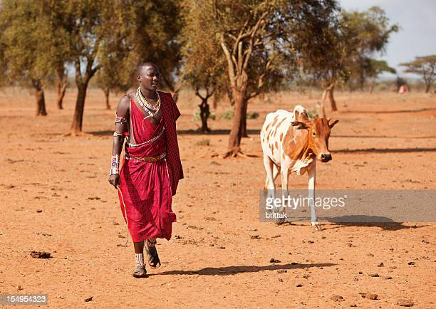 Maasai warrior returning with cow.