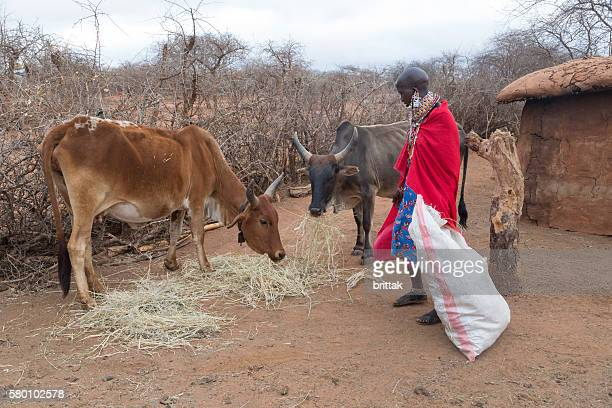 Maasai woman feeding Zebu cow in village, Kenya, East Africa.