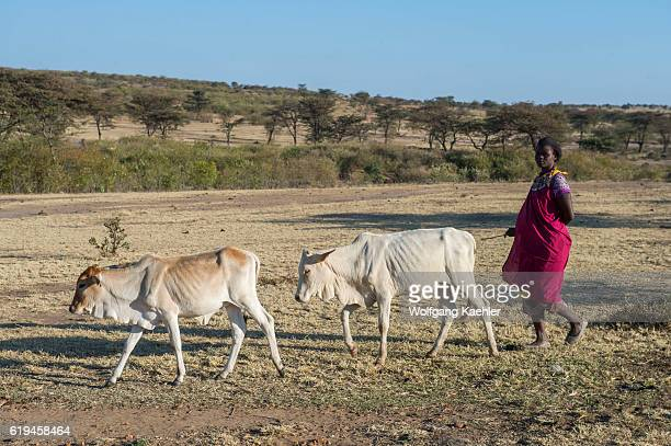Maasai woman is herding cattle into the field in the Masai Mara in Kenya