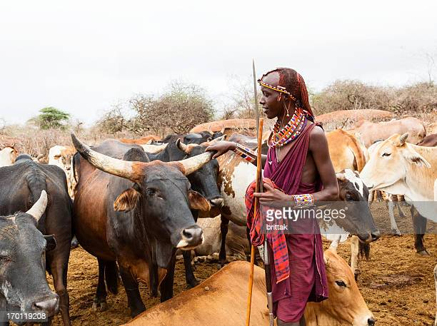 maasai woman with spear with cattle  - cattle stock pictures, royalty-free photos & images