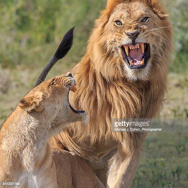 Maating Pair of Lions, Crazy Face