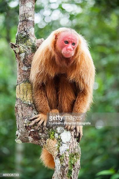 Macaco uacari da cara vermelha
