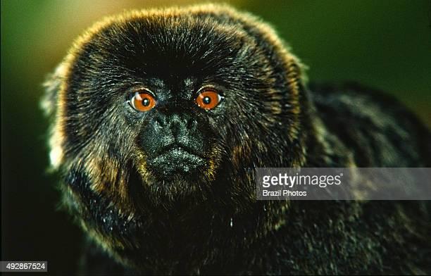 Macacodegoeldi goeldi's monkey Amazon rainforest Brazil