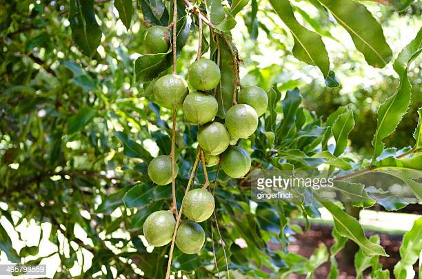 Macadamia -Macadamia ternifolia-, ball-shaped fruits on the tree, Gisborne region, North Island, New Zealand