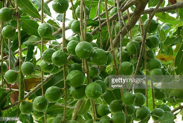 Les noix de Macadamia sur l'arbre