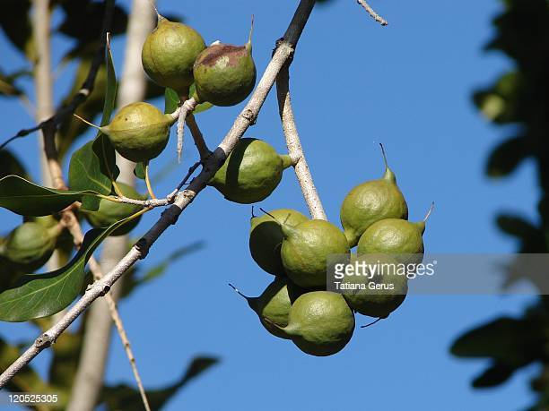 Macadamia nuts on tree