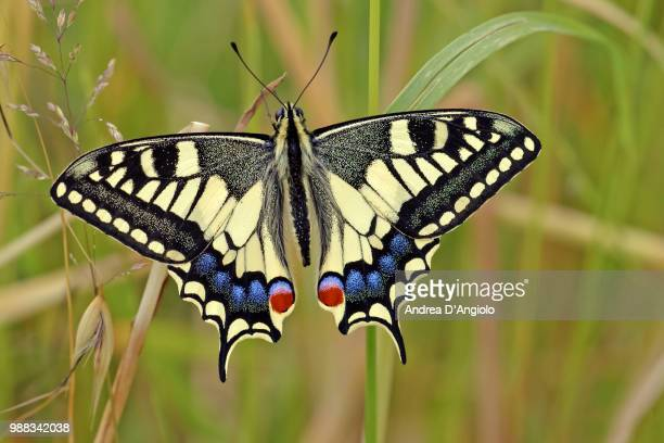 macaone - swallowtail butterfly stock pictures, royalty-free photos & images