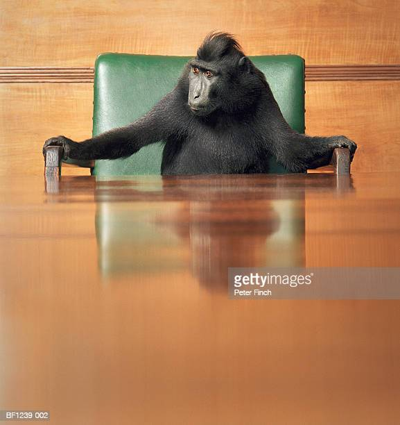 Macaque at head of conference table
