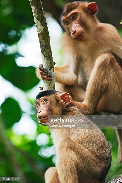 Macaque, Borneo, Sabah, Malaysia