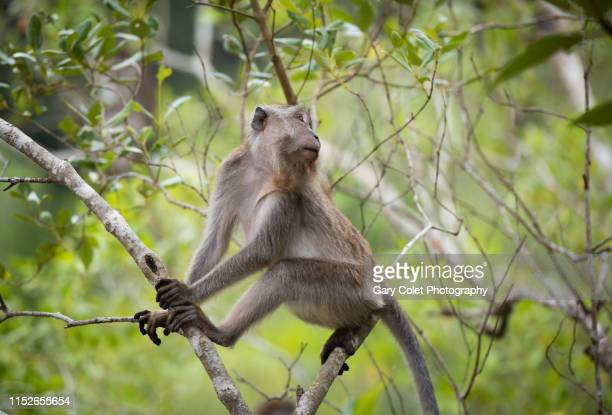 macaque monkey adult - gary colet stock pictures, royalty-free photos & images