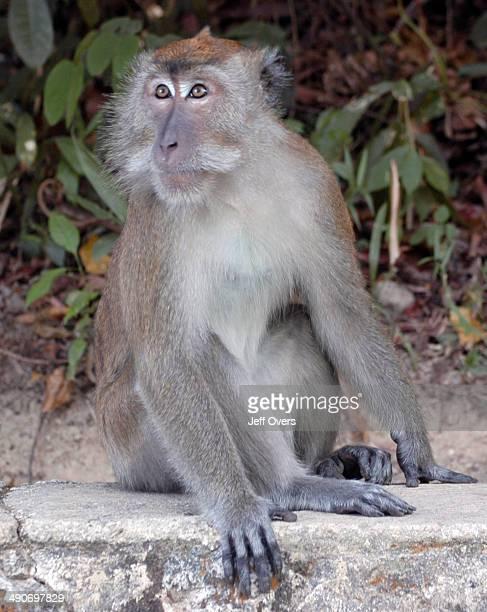 Macaque monkey at Penang Botanical Gardens in Malaysia