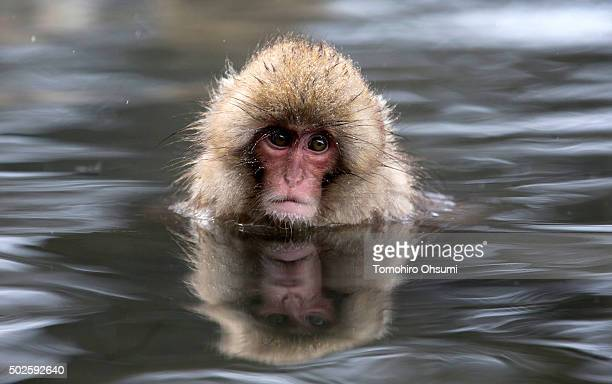 Macaque monkey bathes in a hot spring at the Jigokudani Yaenkoen wild Macaque monkey park on December 27 2015 in Yamanouchi Japan The wild Japanese...