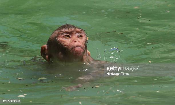 Macaque monkey cools off in a pool at the Galtaji Temple premises on a hot summer day, on May 27, 2020 in Jaipur, India.