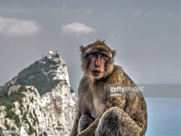 macaque monkey of gibraltar - rock of gibraltar stock photos and pictures