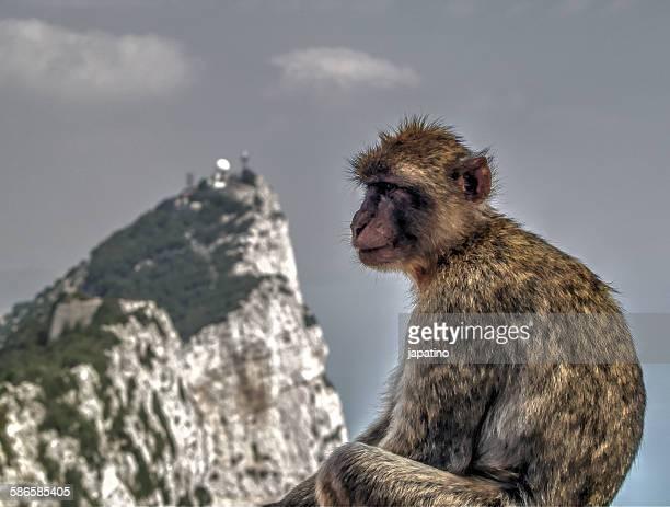 Macaque monkey of Gibraltar