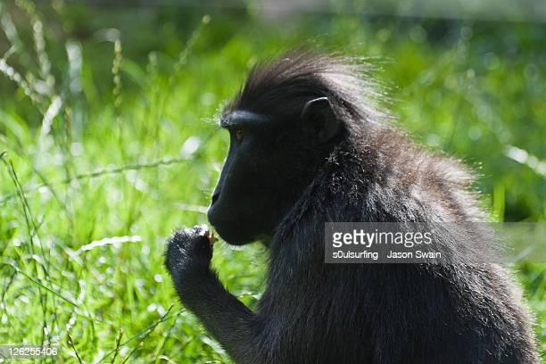 macaque monkey - s0ulsurfing stock-fotos und bilder