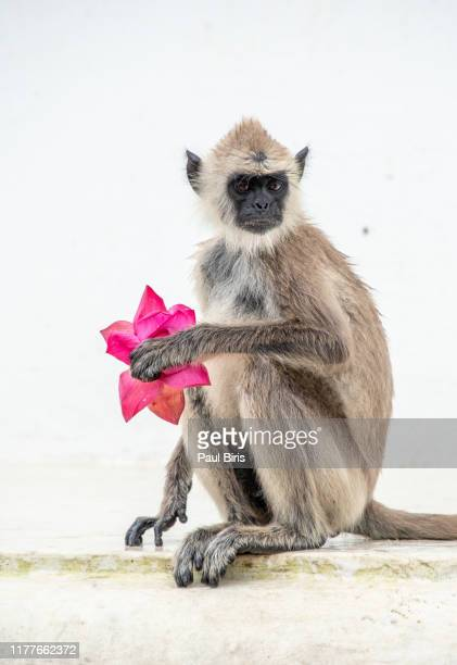 macaque monkey sitting and eating flowers, mihintale site, sri lanka - mihintale stock pictures, royalty-free photos & images