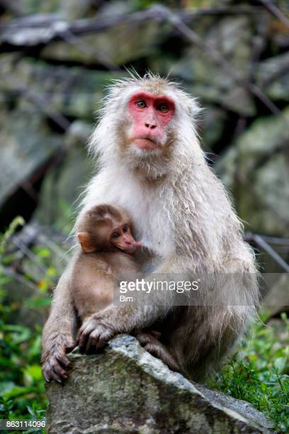 macaque monkey with baby, jigokudani monkey park, japan - female animal stock pictures, royalty-free photos & images
