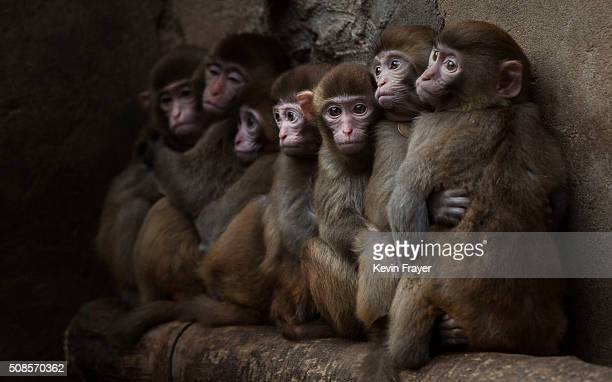 Macaque monkeys crowd together in their cage at a monkey farm on February 3 2016 in Xinye county Henan province China The area boasts a centurieslong...