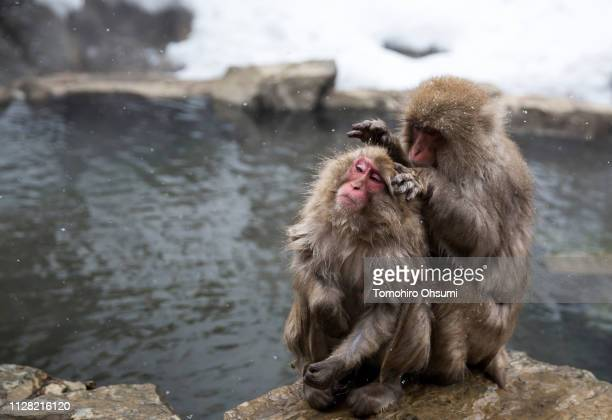 Macaque monkeys look for lice each other near a hot spring at the Jigokudani Yaenkoen wild Macaque monkey park on February 8 2019 in Yamanouchi Japan...