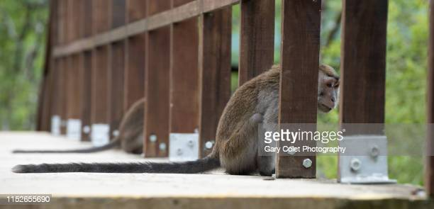 macaque monkeys on bridge - gary colet stock pictures, royalty-free photos & images