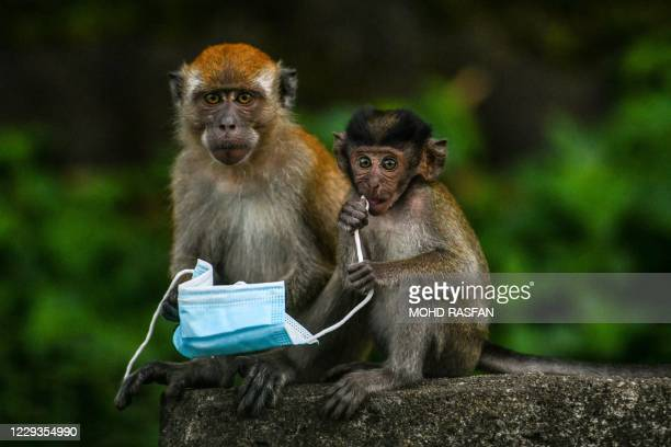Macaque monkeys play with a face mask, used as a preventive measure against the spread of the COVID-19 novel coronavirus, left behind by a passerby...