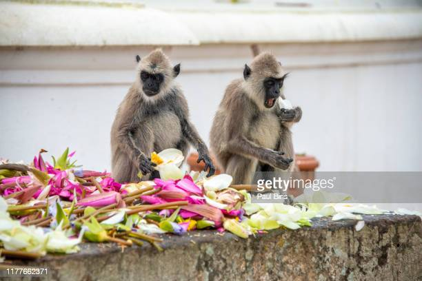 macaque monkeys sitting and eating flowers, mihintale site, sri lanka - mihintale stock pictures, royalty-free photos & images