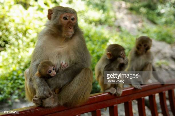 A macaque mother with her baby sits together with an other macaque on the hill at Qianling Park on May 29 2017 in Guiyang China