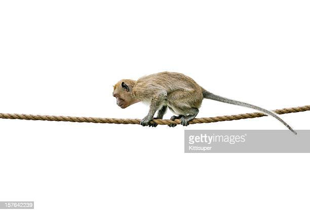 Macaque on rope
