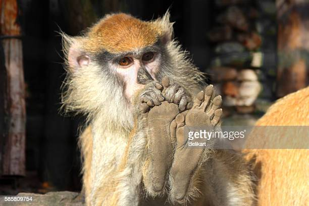 Macaque toes! This piggy went to the market...