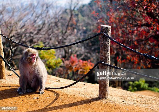 Macaque Sitting By Railing