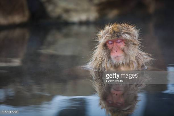 Macaque sleeping in hot tub, Onsen, Nagano Japan
