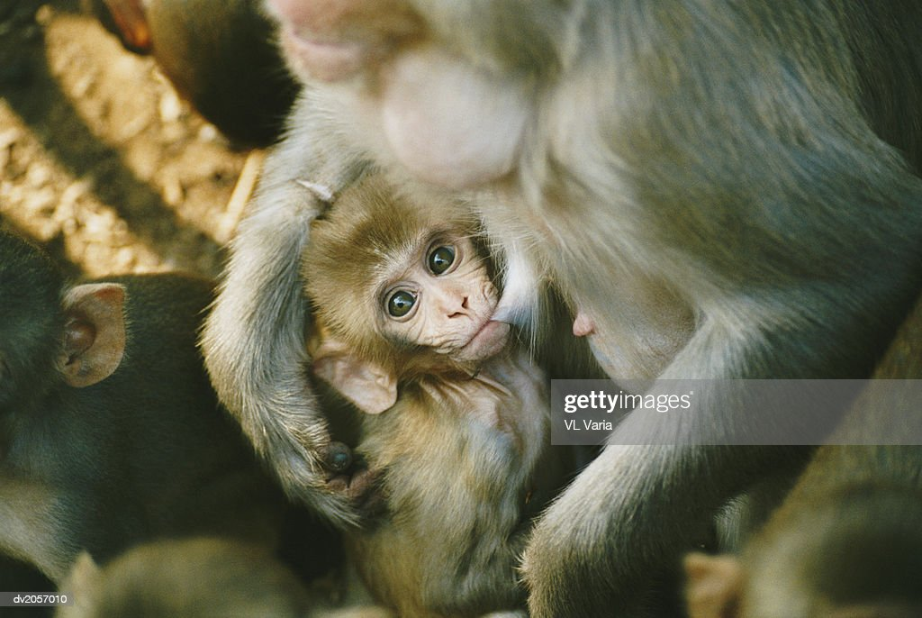 Macaque Suckling Her Young Offspring : Stock Photo