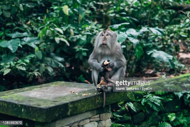 macaque with baby in monkey forest sanctuary in ubud, bali - marek stefunko stock pictures, royalty-free photos & images