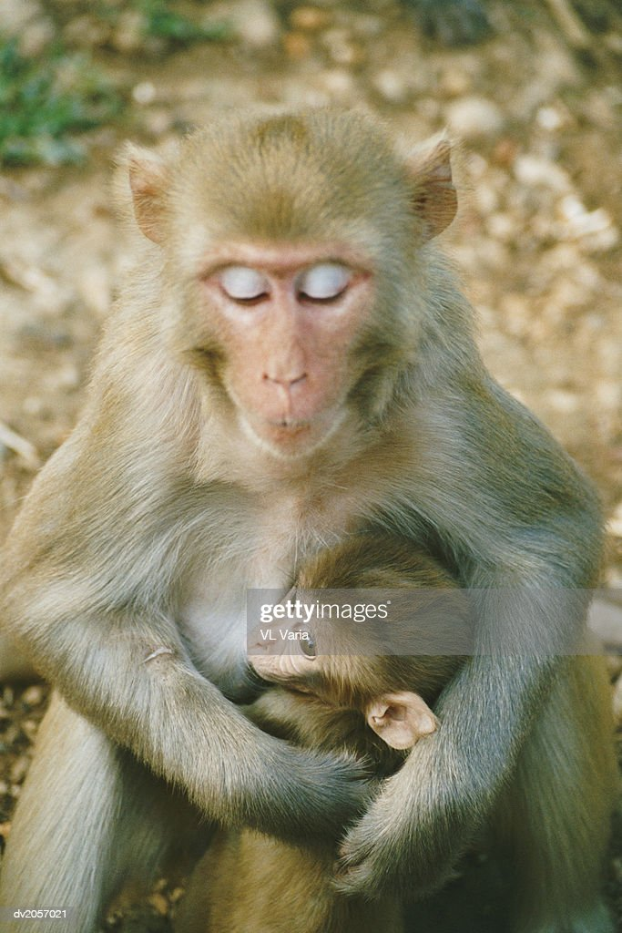 Macaque With Her Arms Around Her Baby : Stock Photo