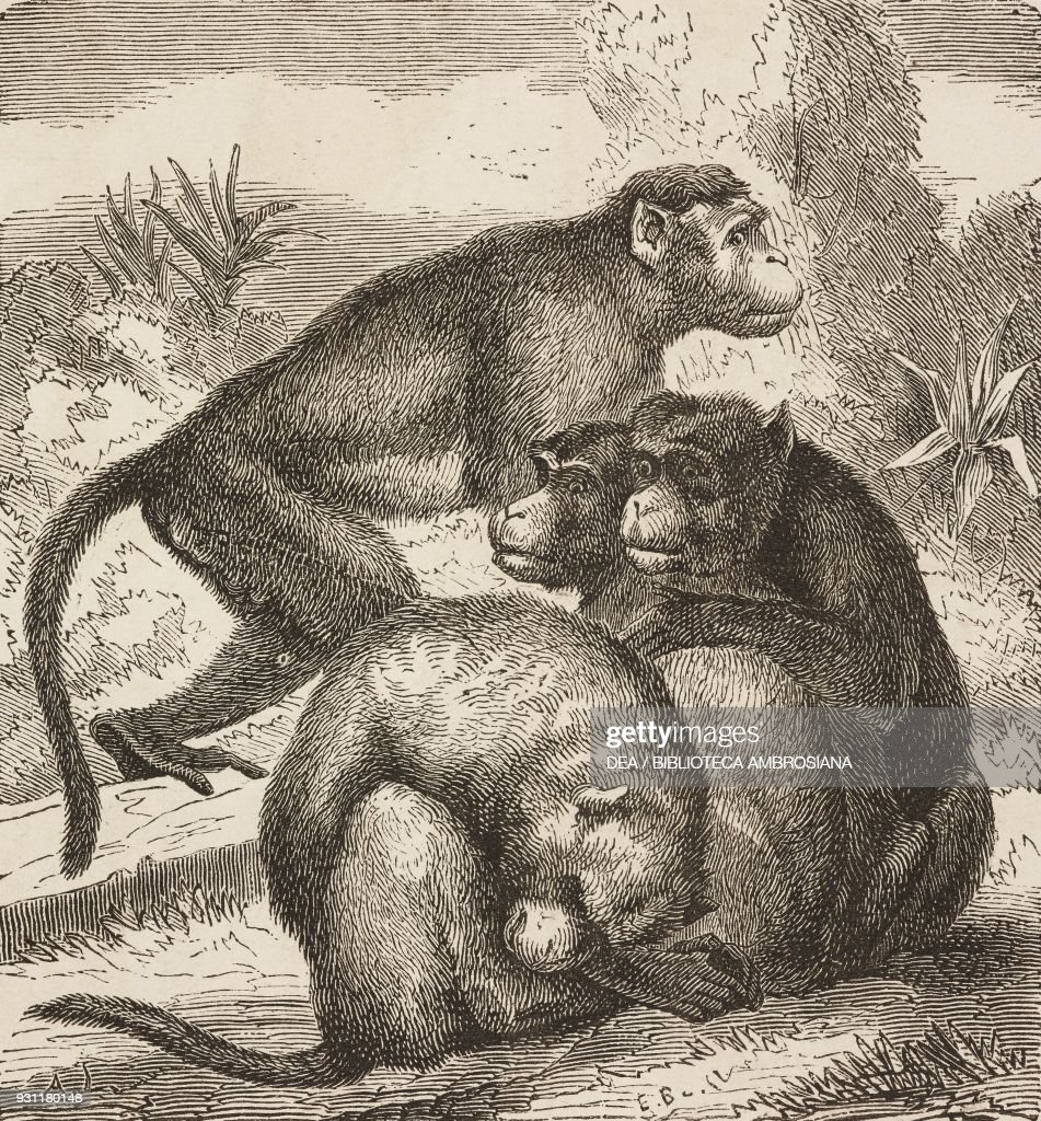 Macaques, drawing from The Malay Archipelago : News Photo
